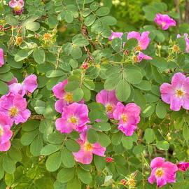 Jim Sauchyn - Wild Roses