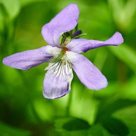 Jouko Lehto - Wild Violet
