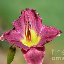 Ruth Housley - Wine Color Daylily