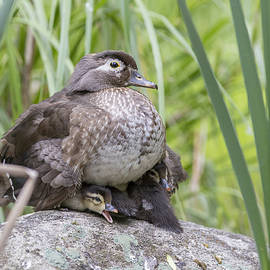 Mircea Costina Photography - Wood Duck Family