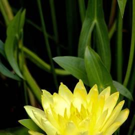 Debra     Vatalaro - Yellow Lotus