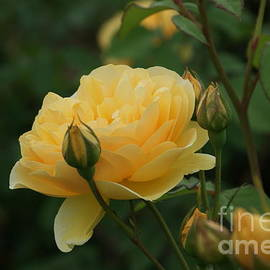 Rob Luzier - Yellow rose of Texas...   #
