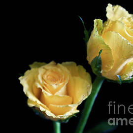Tracy Hall - Yellow Roses