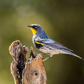 Tam Ryan - Yellow-rumped Warbler