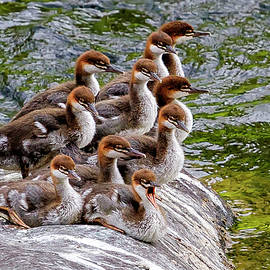 Belinda Greb - 10 Little Mergansers on a Rock