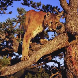 Dennis Hammer - Mountain Lion