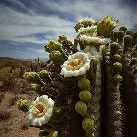 Ed  Cheremet - Saguaro Cactus in Bloom