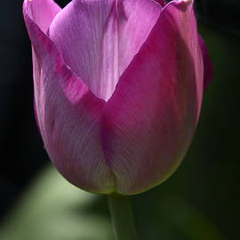Norng Ti  - Tulip