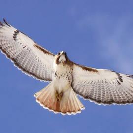 Travis Truelove - 102257-004-Red-tailed Hawk