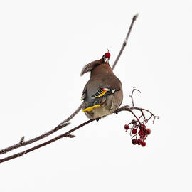 Jouko Lehto - Bohemian waxwings eating rowan berries