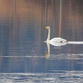 Jouko Lehto - Whooper Swans