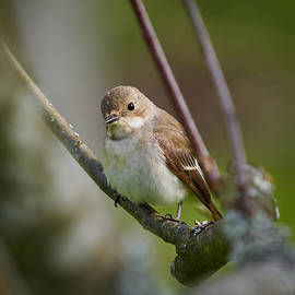 Jouko Lehto - European pied flycatcher
