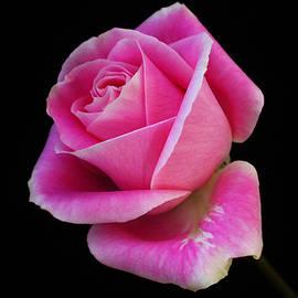 Carol Welsh - Pink Rose