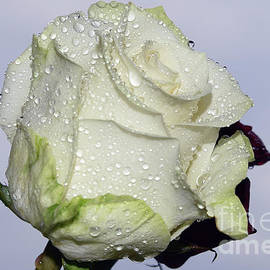 Elvira Ladocki - White Rose