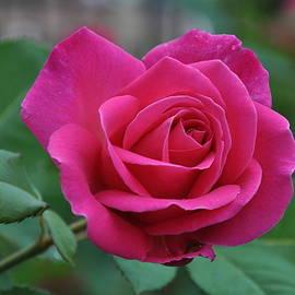 Carrie Goeringer - Rose
