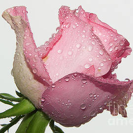 Elvira Ladocki - Beautiful Rose