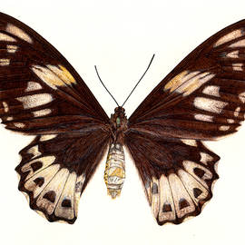 Birdwing Butterfly - Rachel Pedder-Smith