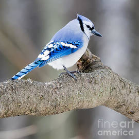 Ricky L Jones - Blue Jay