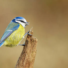 Chris Smith - Blue Tit