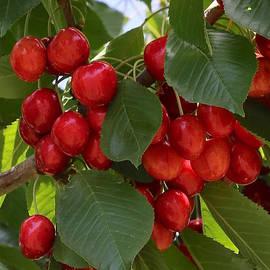 Carol Groenen - Cherries