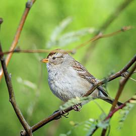 Tam Ryan - Chipping Sparrow