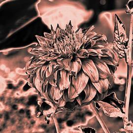 Chroma Photographer - Dahlia3