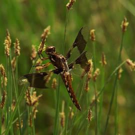 Jeff  Swan - Dragonfly resting