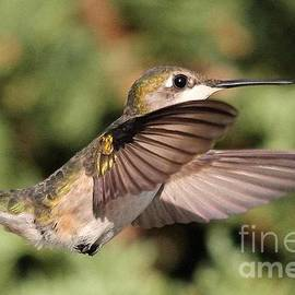 J McCombie - Female Ruby-Throated Hummingbird in Flight