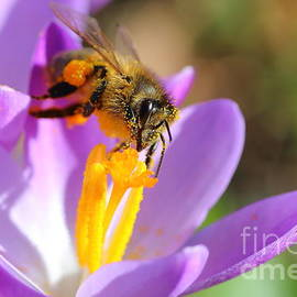 Gregory DUBUS - First spring pollination on crocus