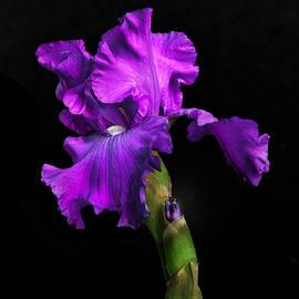 Floyd Hopper - Garden Iris