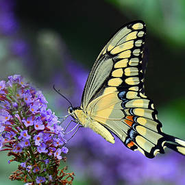 Rodney Campbell - Giant Swallowtail