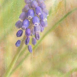 Wendy Elliott - Grape Hyacinth