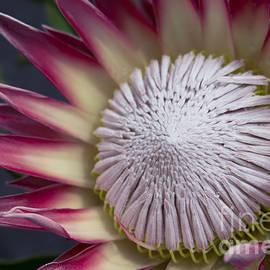 Sharon Mau - King Protea - Protea Cynaroides - Maui Tropicals Hawaii