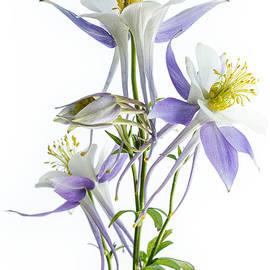 Ann Garrett - Lilac Aquilegia