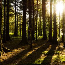 Daniel Kay - Morning Light Shining Through Pine Forest.
