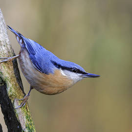 Chris Smith - Nuthatch --