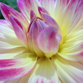 Wendy Yee - Pink And Yellow Dahlia