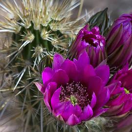 Saija  Lehtonen - Pink Hedgehog Cactus