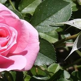 Bruce Bley - Pink Roses