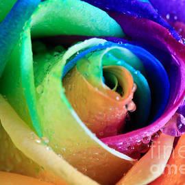 Tracy  Hall - Rainbow Rose