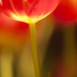 Heiko Koehrer-Wagner - Red Tulips
