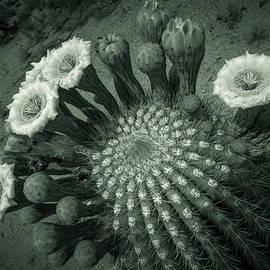 Ed  Cheremet - Saguaro Cactus in Bloom