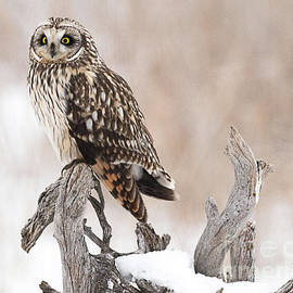 Dennis Hammer - Short Eared Owl Hunting