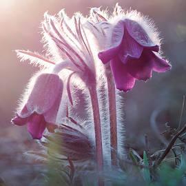 Sergey Ryzhkov - Small Pasque Flower