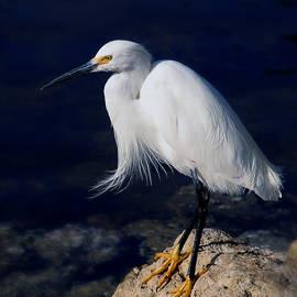 Joseph G Holland - Snowy Egret