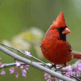 Charles Trinkle - Spring Cardinal