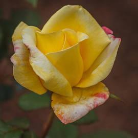 Jane Luxton - Sunlit rose