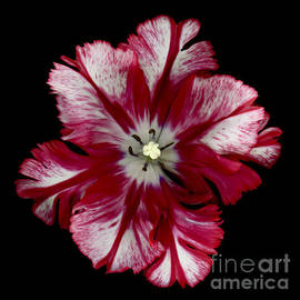 Oscar Gutierrez - White and Red Parrot Tulip