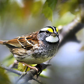 Christina Rollo - 2 White Throated Sparrow
