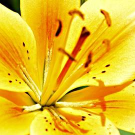 Susan Johnson - Yellow Lily